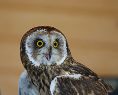 Owl LMP6B