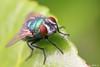 Green Bottle Fly by Alexandre D_