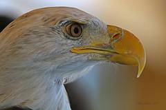 Eagle Close Up LMP1Bsigned 18x12