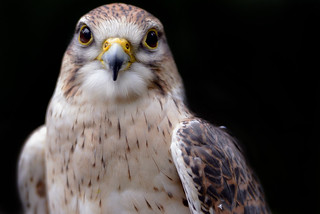 FALCO PEREGRINUS (PEREGRINE FALCON)  -  (Selected by GETTY IMAGES)