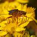 Shieldbug on flower