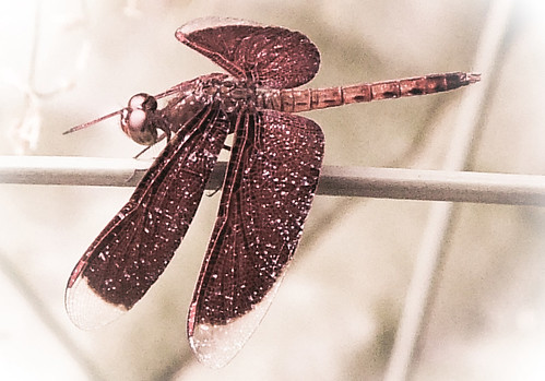 A burgundy dragonfly in Singapore run through the photo app Photoshop Express