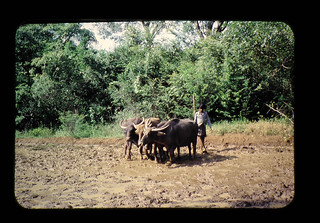 熱帯水稲短期品種の収量解析