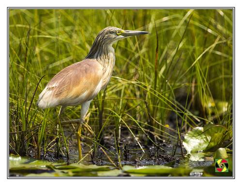squaccoheron heron mabambaswamp orinthology bird birds uganda pássaro vogel eastafrica kasanje buganda lakevictoria ardeolaidae