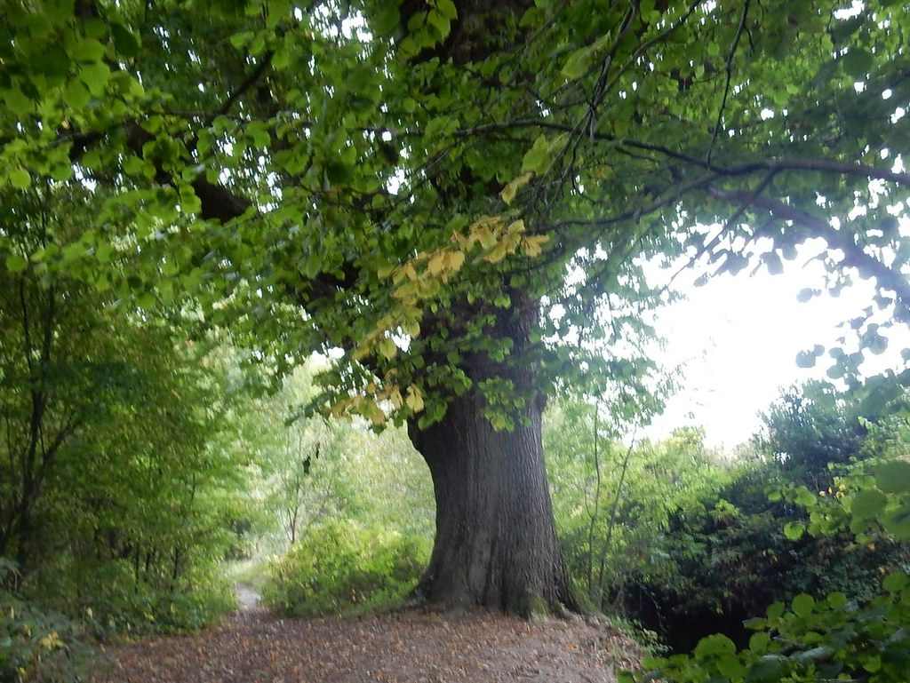 Scrase Ancient Oak Haywards Heath Circular