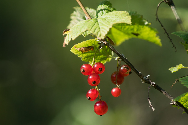 Wild red currant (Ribes spicatum)