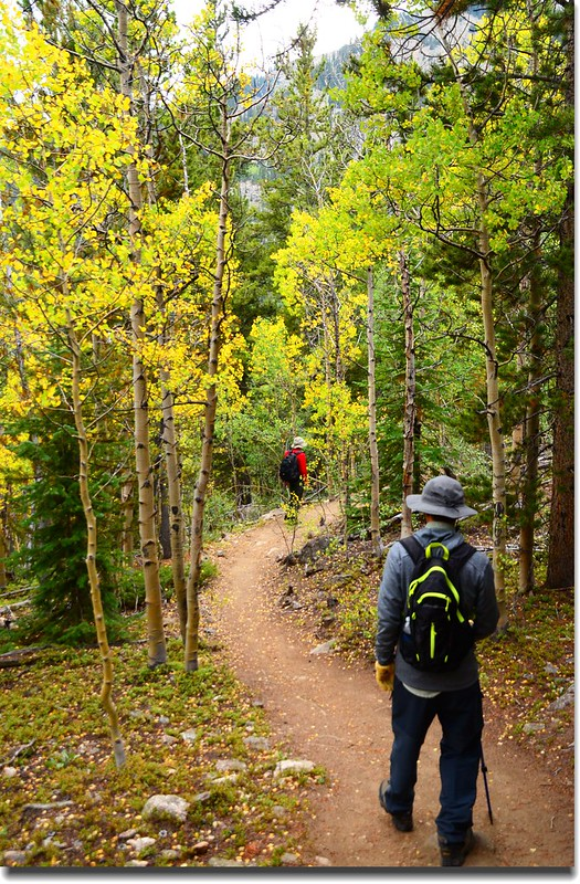 Aspen along the trail, and leaves are turning yellow  (8)