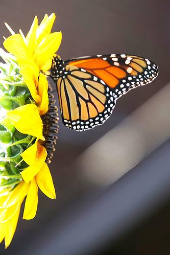 DSC09065  - Garden Monarch