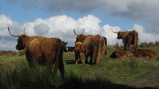 Highland Cattle (2)