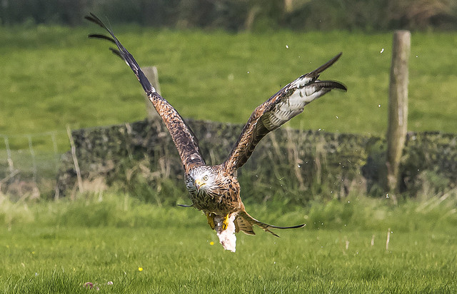 Red Kite - Milvus milvus 3O9B0314