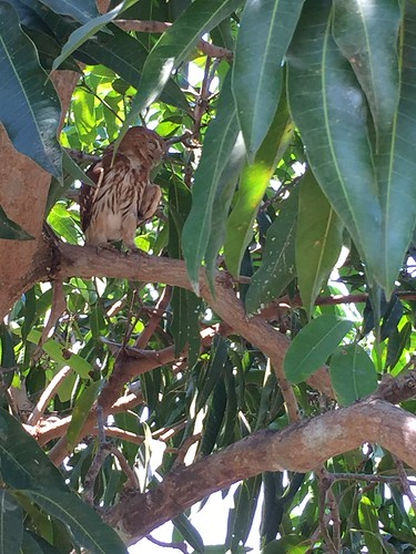 Pantanal: Ferruginous Pygmy-Owl