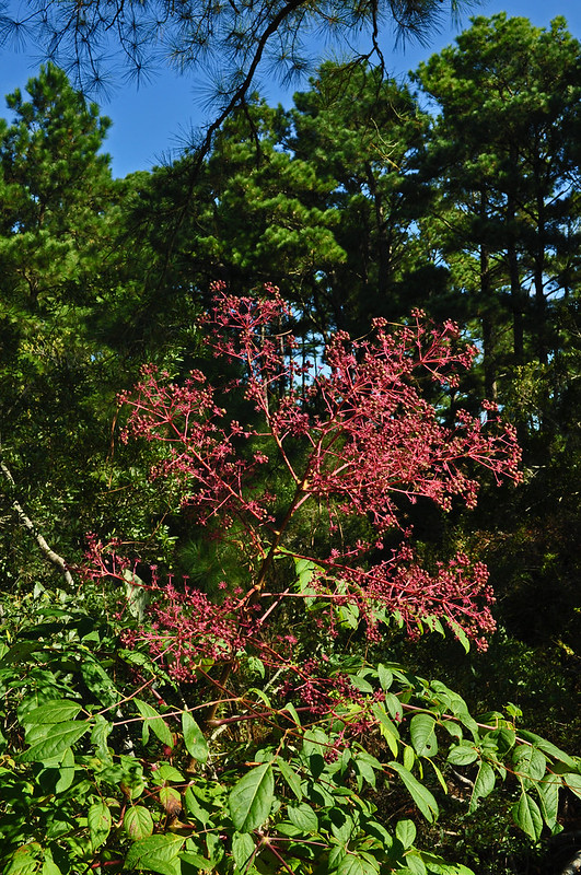 Aralia spinosa (Devil's walking stick)