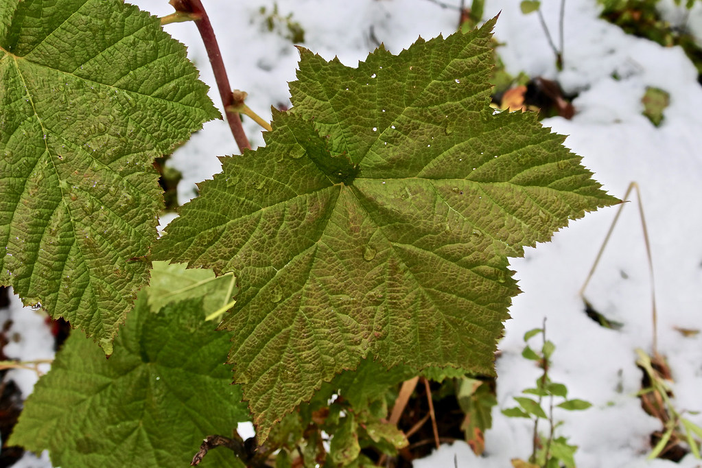 Thimbleberry leaf
