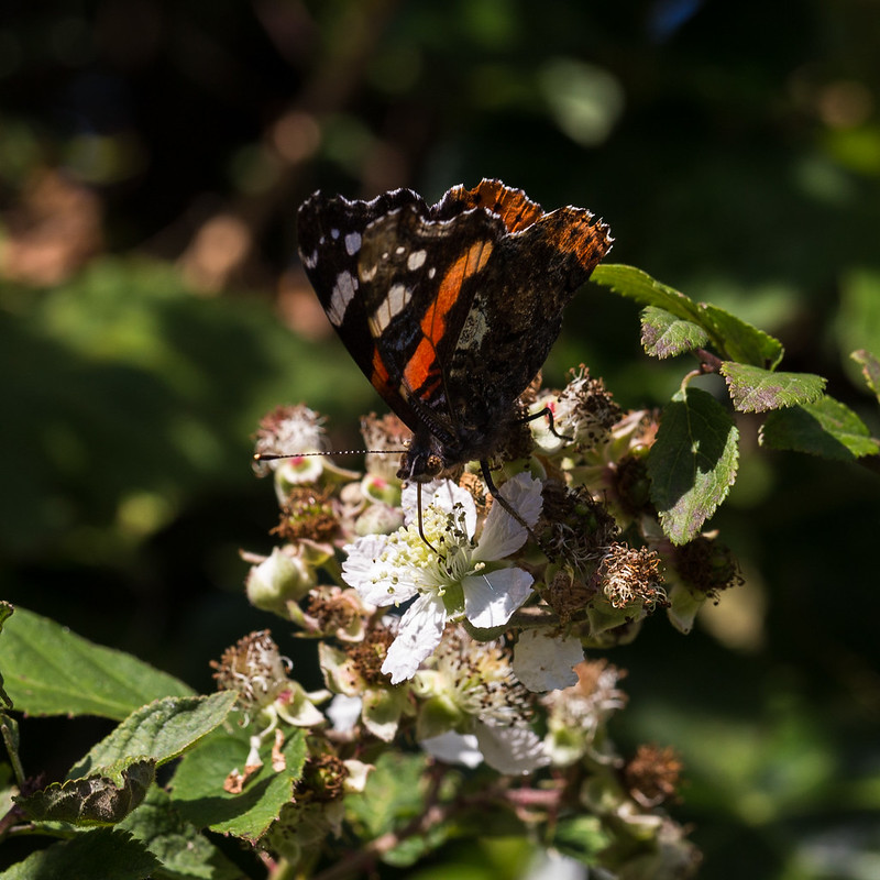 Red Admiral on a Blackberry Flower