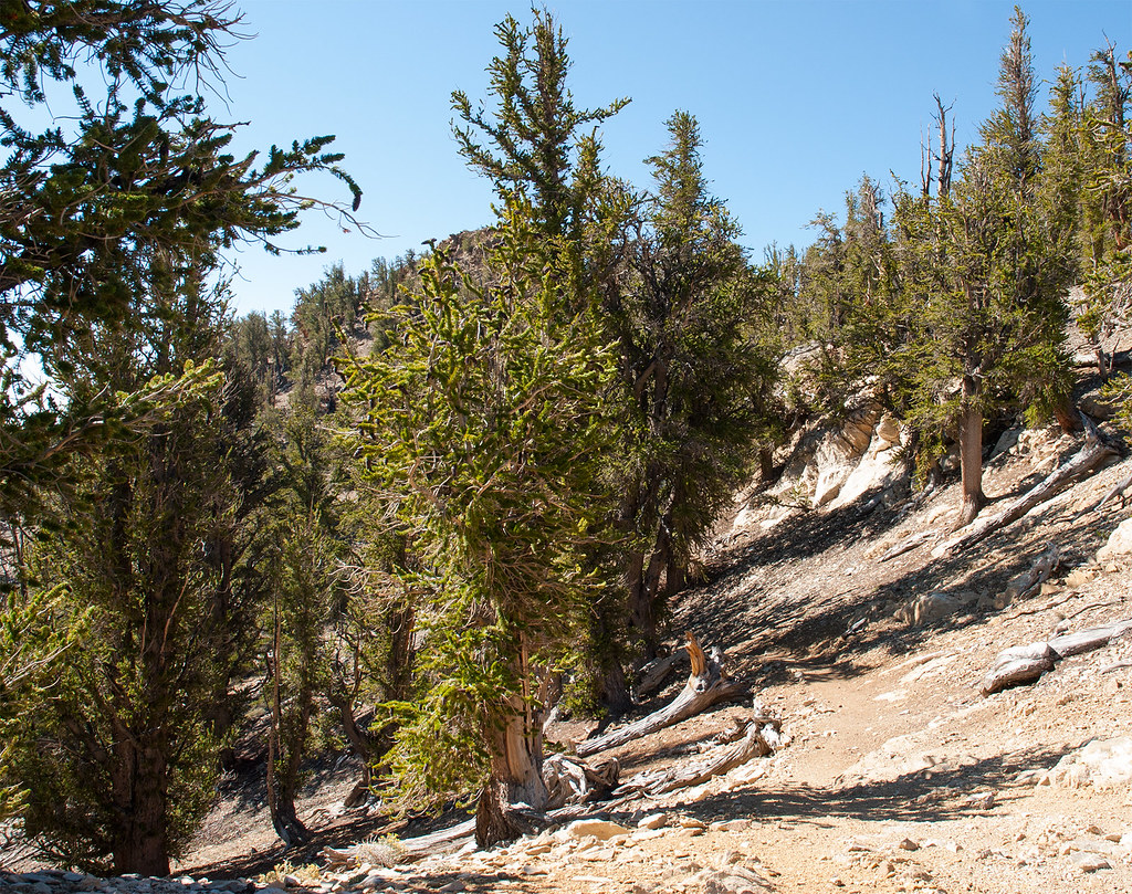 Ancient Bristlecone Forest (4 of 25)