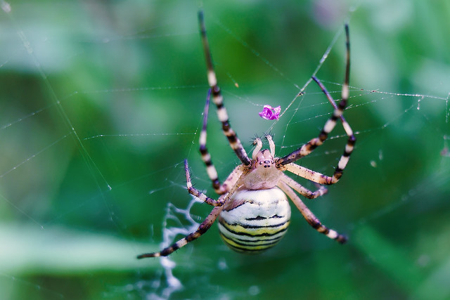 Wespenspinne / wasp spider
