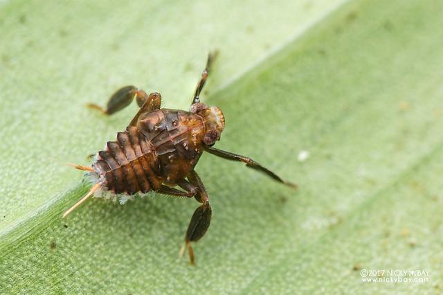 Planthopper nymph (Fulgoroidea) - DSC_7935