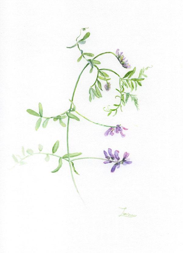 флора-горошек