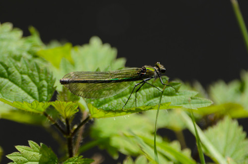 Female banded demoiselle dragonfly, Castlecroft