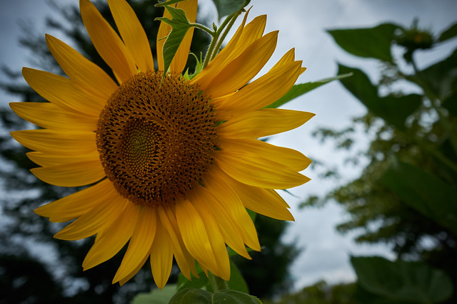 Sunflower - Walk to JR Totsuka JRC 20170713