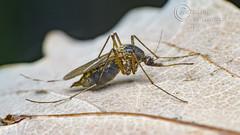 _IMG7968  Mosquito