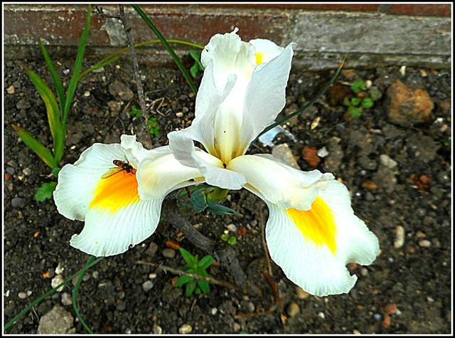 White Iris Plant...