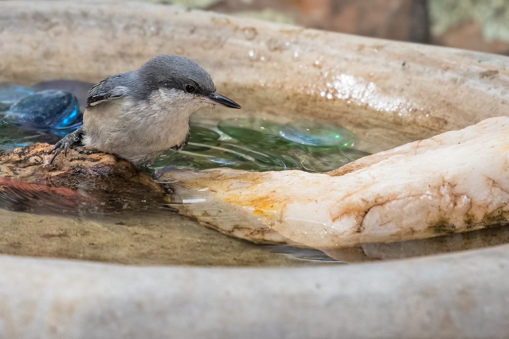 Pygmy-Nuthatches-30-7D2-070617