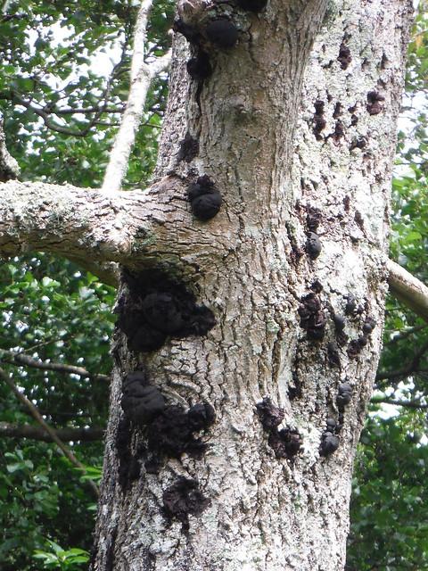 Fungi on Tree, near Black Pond, Burton Park