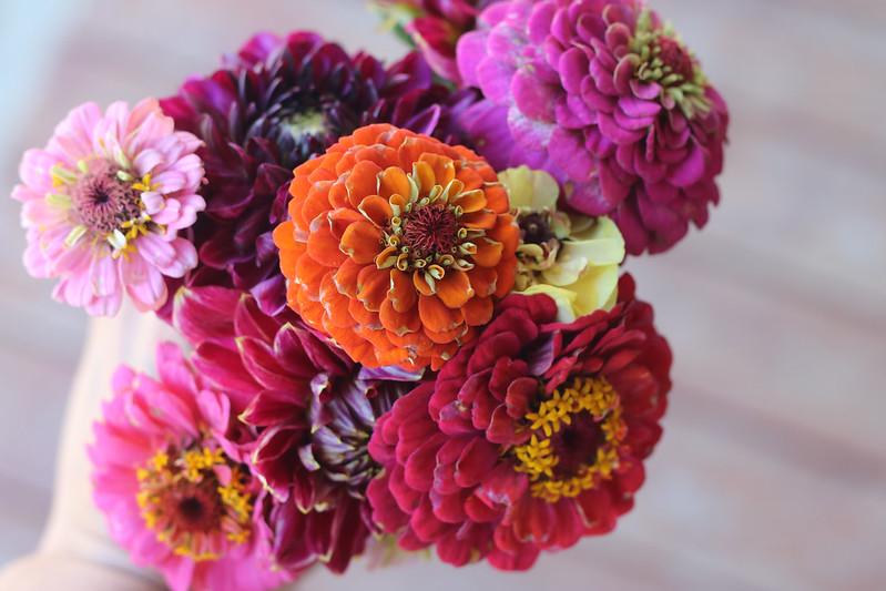 Cut Flower Zinnias and Dahlias
