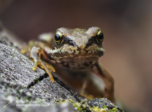 Common froglet-9