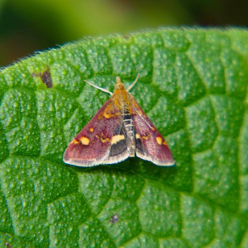 Pyrausta purpuralis moth resting