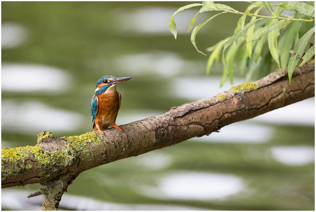 Common Kingfisher female, Canon EOS 5D MARK III, Canon EF 500mm f/4L IS