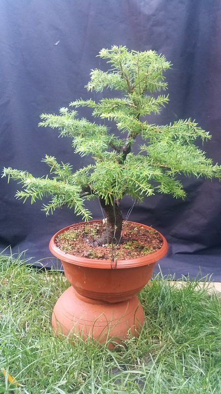 "Tsuga, hemlock or ""extending growth,"" type, clip and grow strategies? 36537452730_c16f7613bf_c"