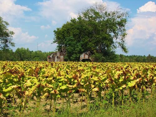 lillington northcarolina harnettcounty usroute401 ruralsouth rural tobaccofarm tobacco cumulusclouds bluesky tobaccoroad oldbarn tobaccobarn goldleaftobacco farm farmers familyfarm