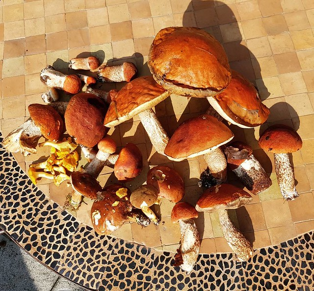 Giant mushrooms found in the forest #mushroom #champignons #giant