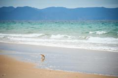 New Zealand Dotterell  2