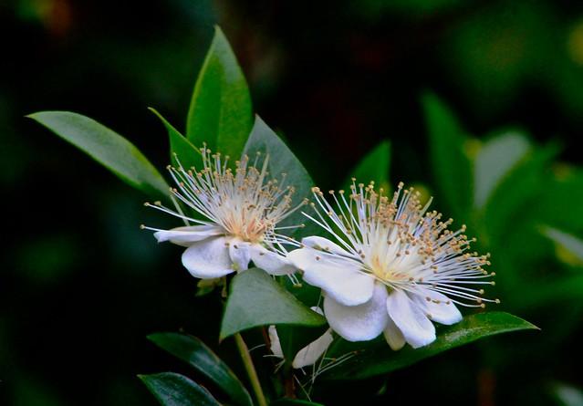 Flower Bossoms