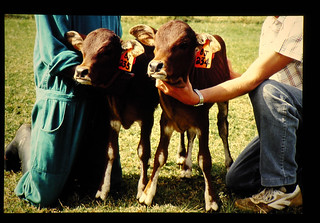Embryo Transfer In African Cattle