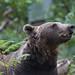 European Brown Bear 2
