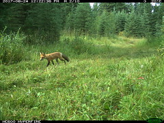 For those that love comparisons as much as me - big, bigger, biggest  Perfect #trailcam pics to compare #fox #lynx… https://t.co/NWJyfx03Wi