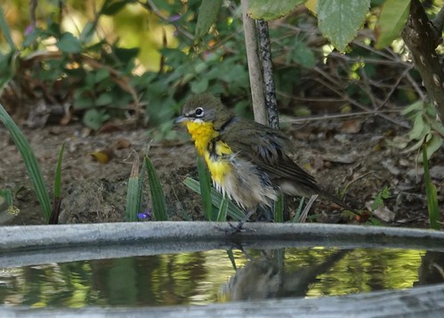Yellow breasted chat in bird bath
