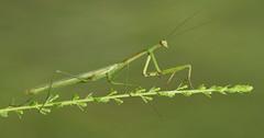 Florida Mantis- Aripeka Sandhills Preserve