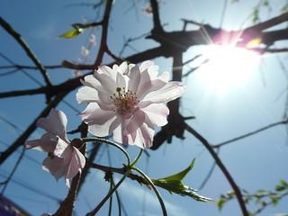降る桜 5
