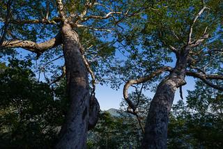 ダケカンバの大木の紅葉はまだ先