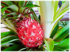 Reddish coloured fruit of Ananas comosus (Pineapple, Nenas in Malay), 19 Jan 2016