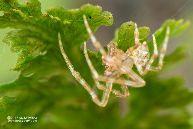 Giraffe big-jawed spider (Dolichognatha sp.) - DSC_8964