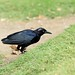 """1DX33067   """"Great-tailed Grackle"""" by Lou Orr"""