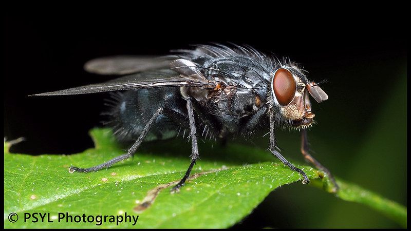 Unknown Muscid fly (family Muscidae)