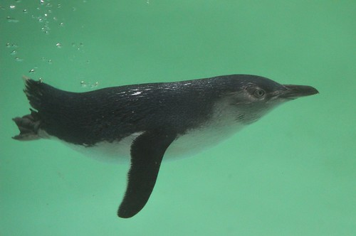 bird penguin water swim green