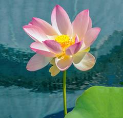 The Lotus Rose
